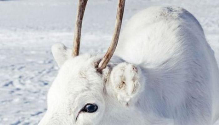 최근 노르웨이에서 발견된 역대급으로 하얀 순록