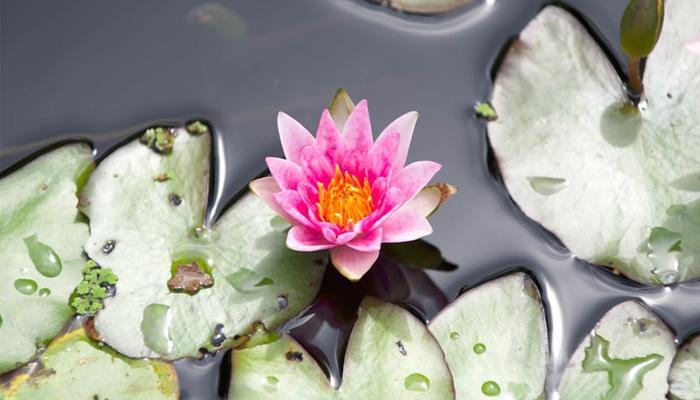 물 위에 떠있는 아름다운 연꽃
