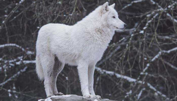로맨티스트라는 늑대