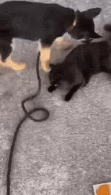 강아지가 고양이 사냥하는거 첨 봄.